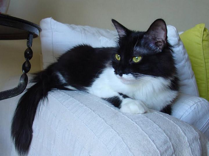 эгейская кошка сколько стоит