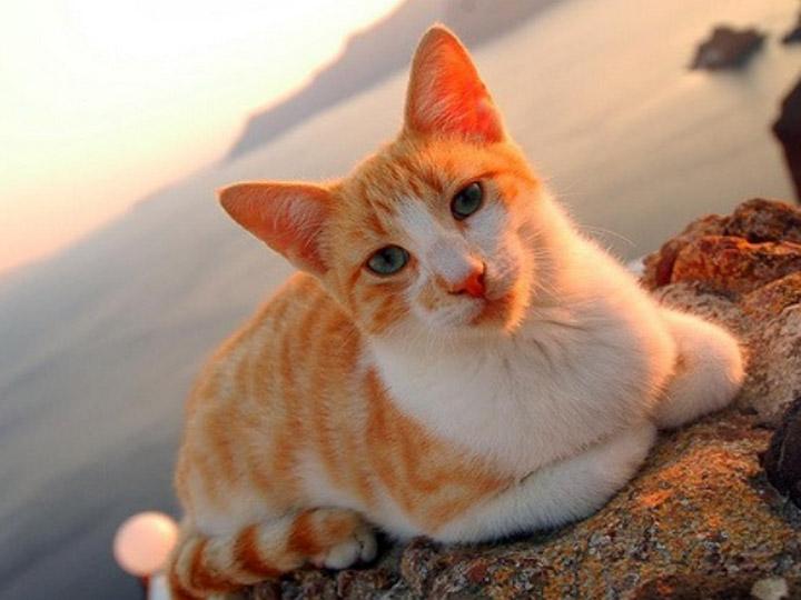 эгейская кошка где купить