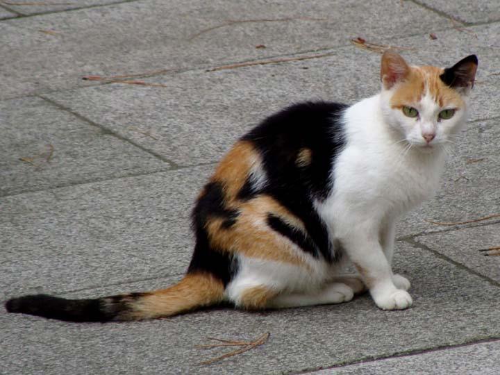 эгейская кошка как выглядит