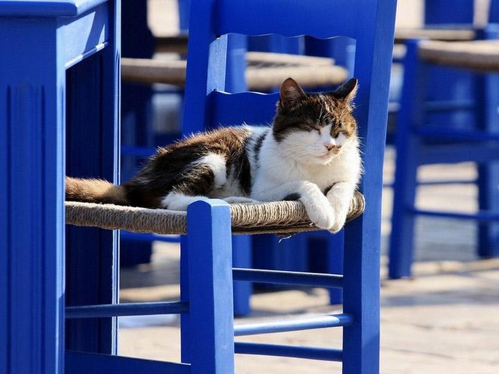 эгейская кошка порода
