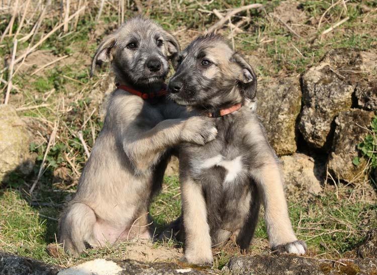 два щенка ирландского волкодава