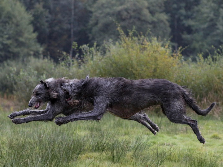 два волкодава