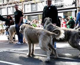собаки породы ирландский волкодав