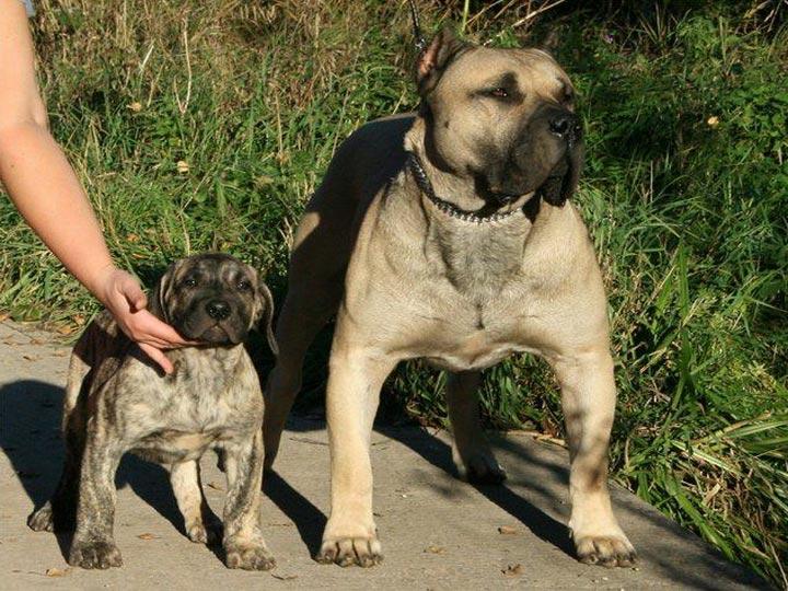канарский дог и щенок