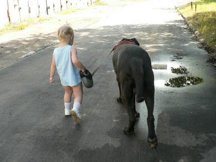 ребенок выгуливает канарского дога