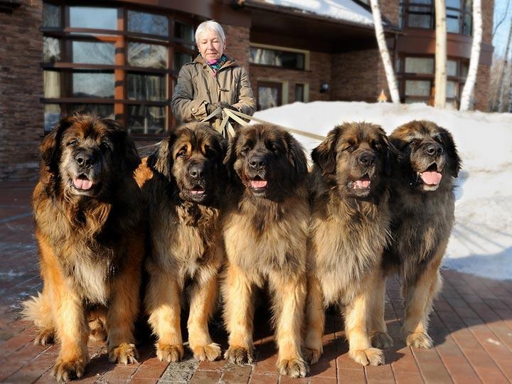 пять собак породы леонбергер