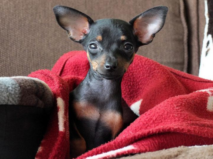 собака породы пражский крысарик