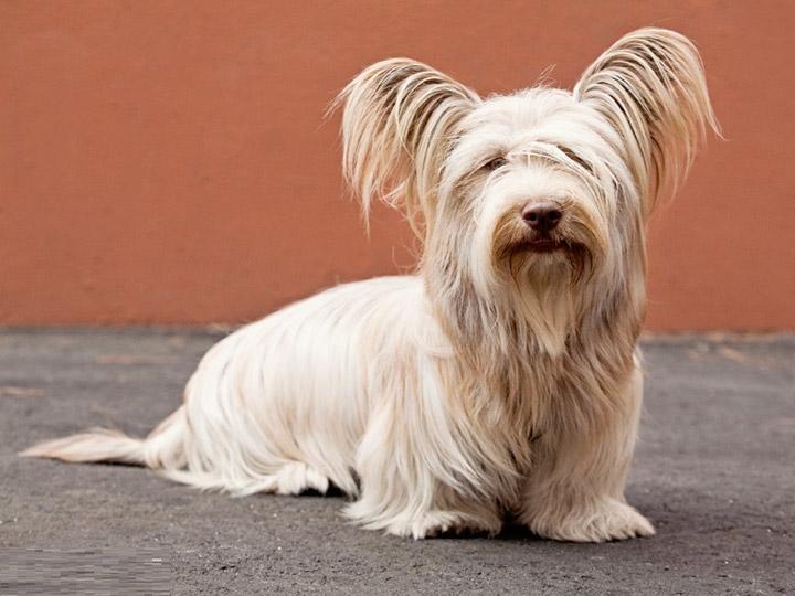 собака породы скай терьер