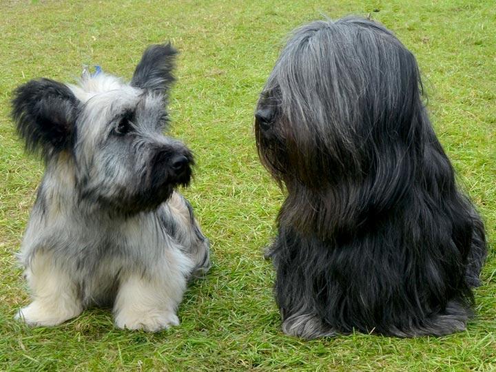 Порода собак скай терьер
