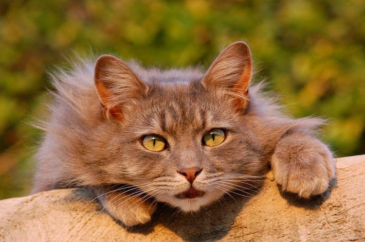 Пушистый кот с зелеными глазами