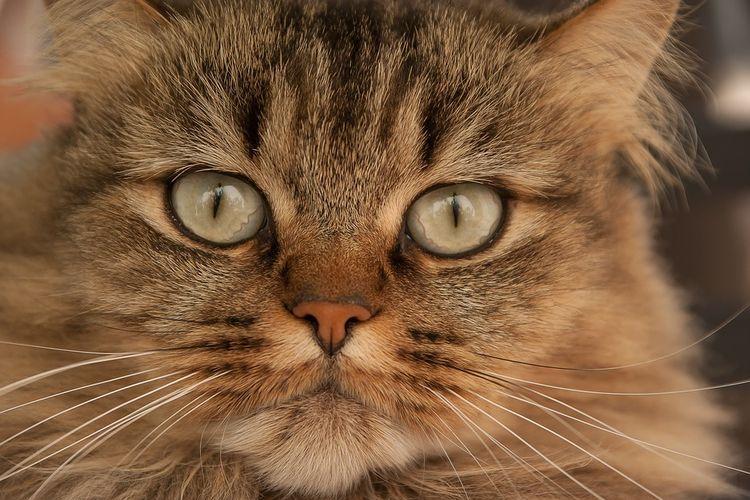 Антибиотики для кошек при гнойных ранах