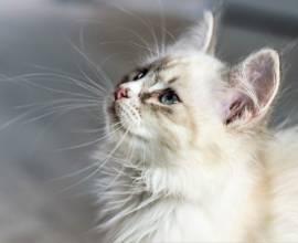 Пушистый белый кот