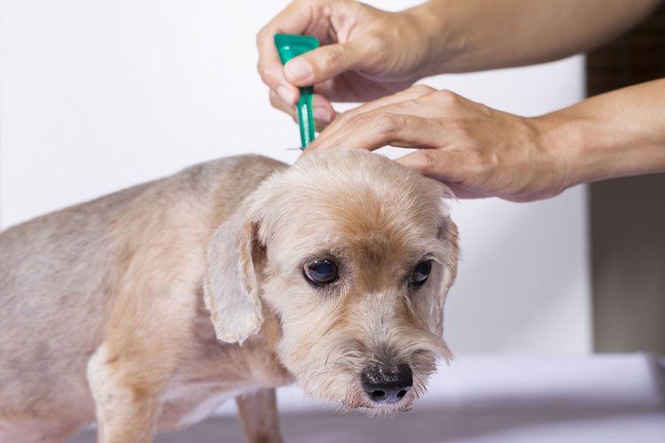 Как наносить капли от блох собаке