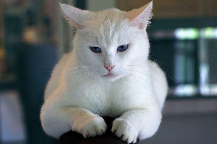 Белая грустная кошка