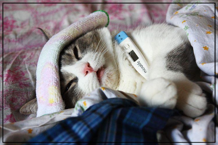 Как определить температуру у кошки