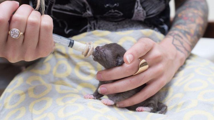 Кормление новорожденного котенка из шприца