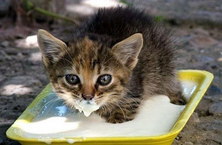 Котенок пьет молоко