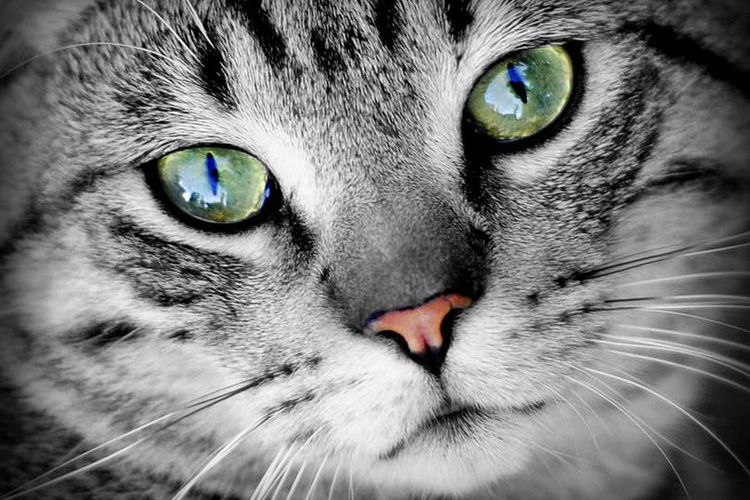 Кошка в зелеными глазами