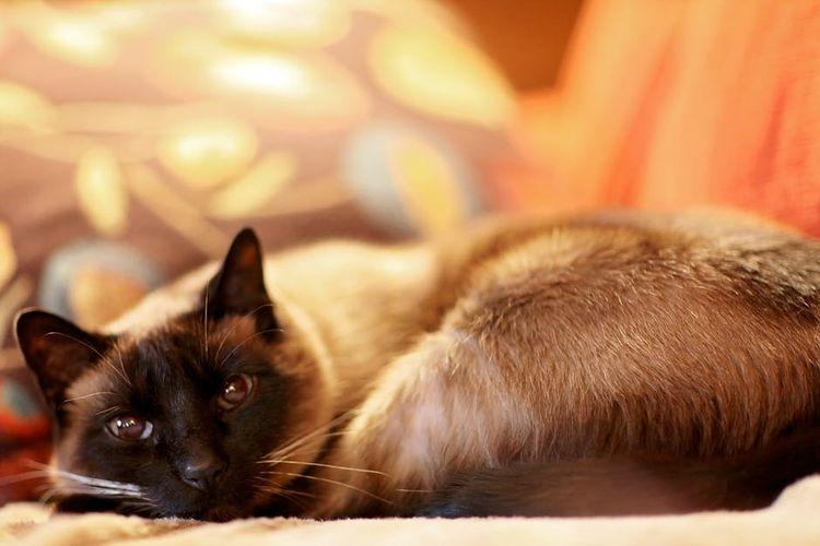 Сиамская кошка болеет