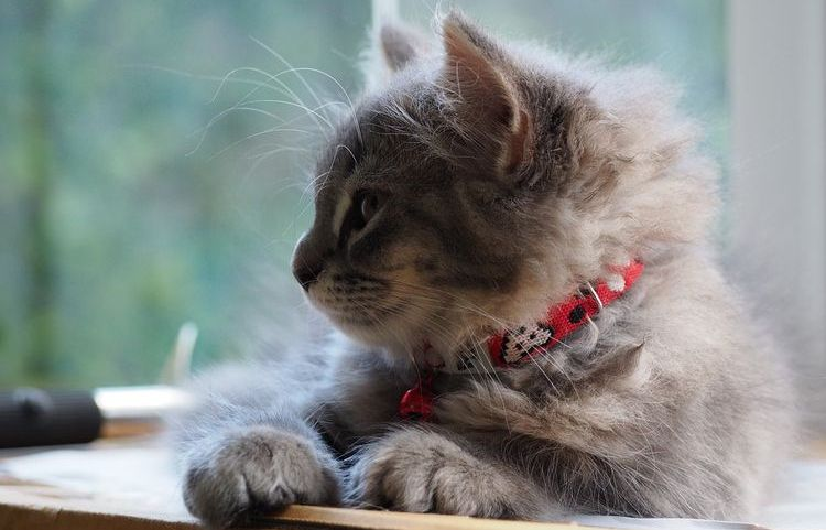 Пушистый котенок в ошейнике