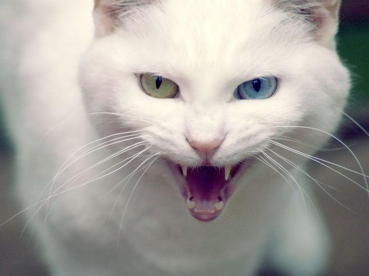Монохромия у кошек