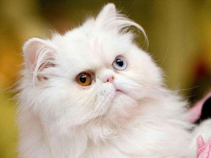 Пушистый кот с разными глазами