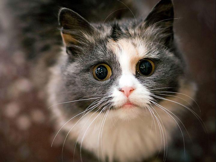 Кот с белой мордой и большими глазами