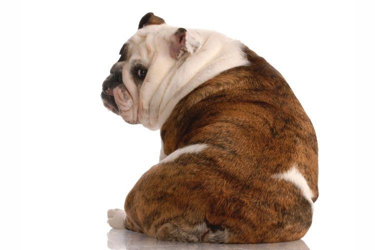 Толстый пес