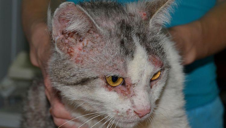 Нотоэдроз у кошки