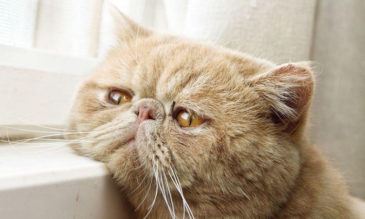 Старый персидский кот