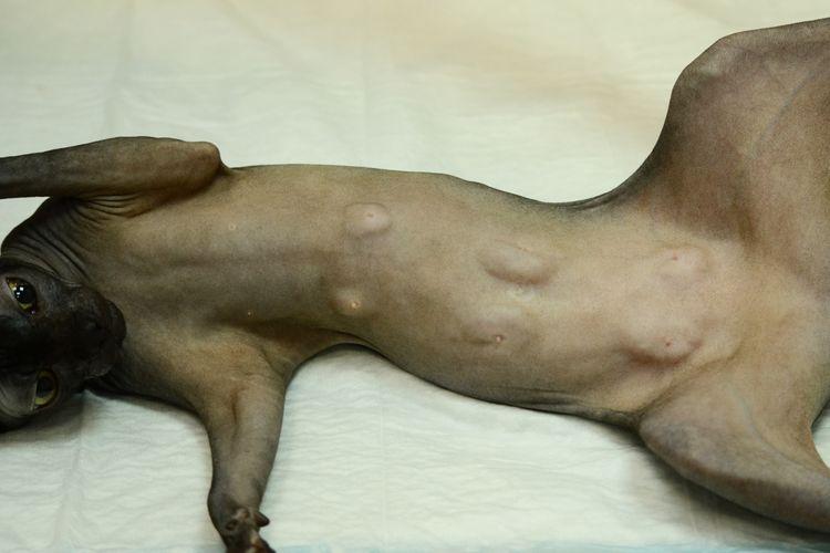 Опухоли на молочной железе у кошки