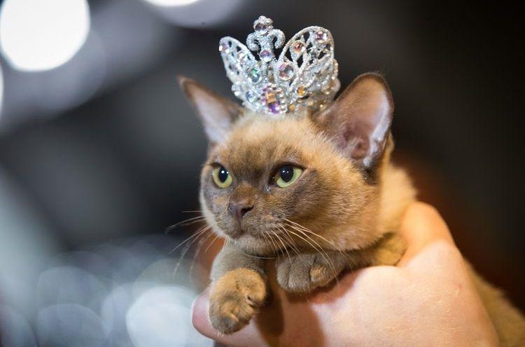 Кошка с короной на голове