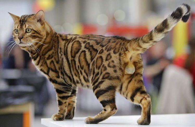 Бенгальский кот на выставке
