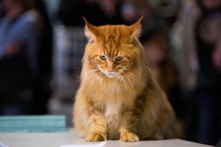 Рыжий кот сидит