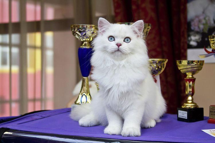 Белая кошка на выставке
