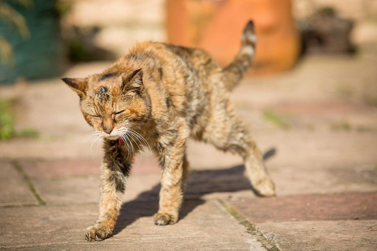 Самая старая кошка Пуффи