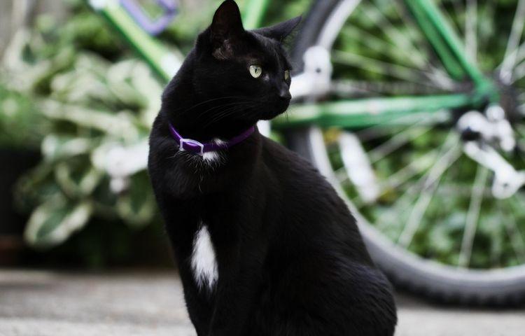 Черная кошка в ошейнике от блох
