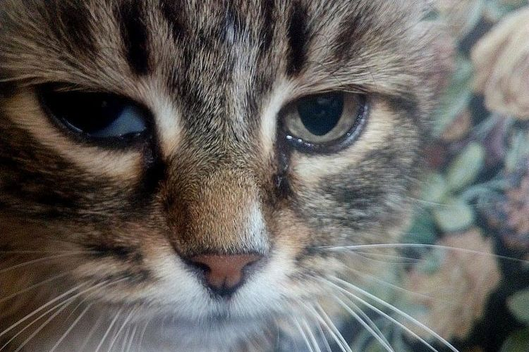 Пролапс мигательной перепонки у кошек