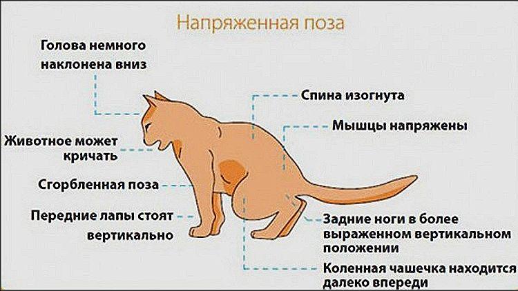 Проблемы мочеиспускания у кота