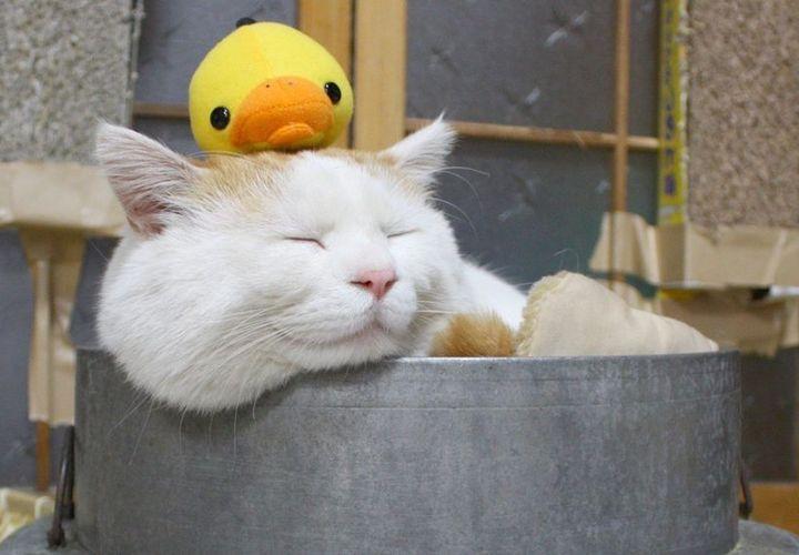 Кот с утенком на голове