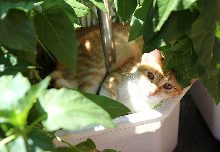 Рыжий кот в цветочном горшке