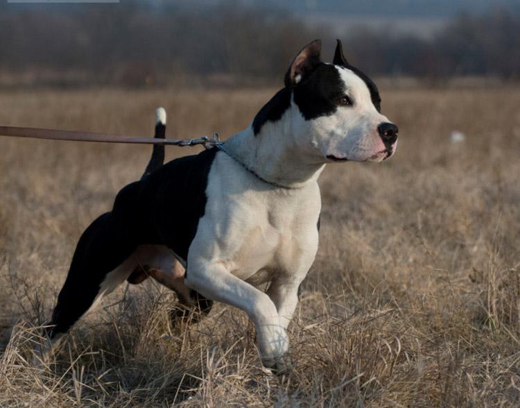собака породы Амстафф
