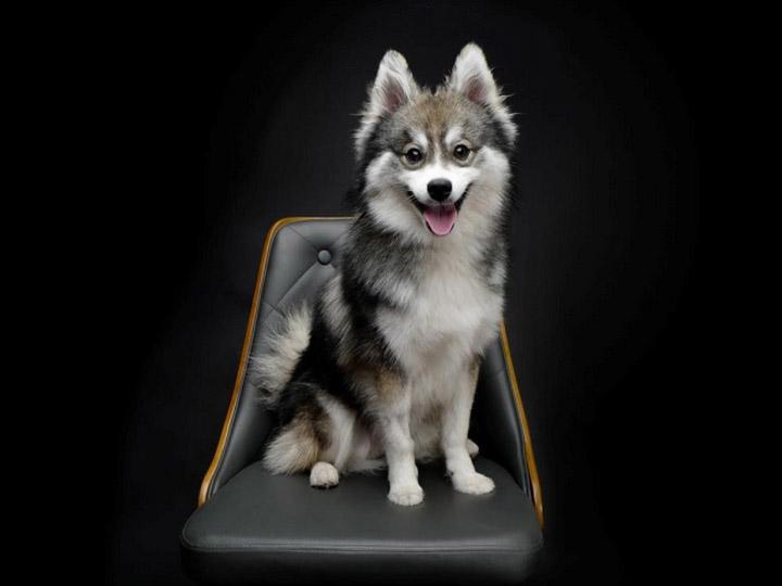 собака породы помски