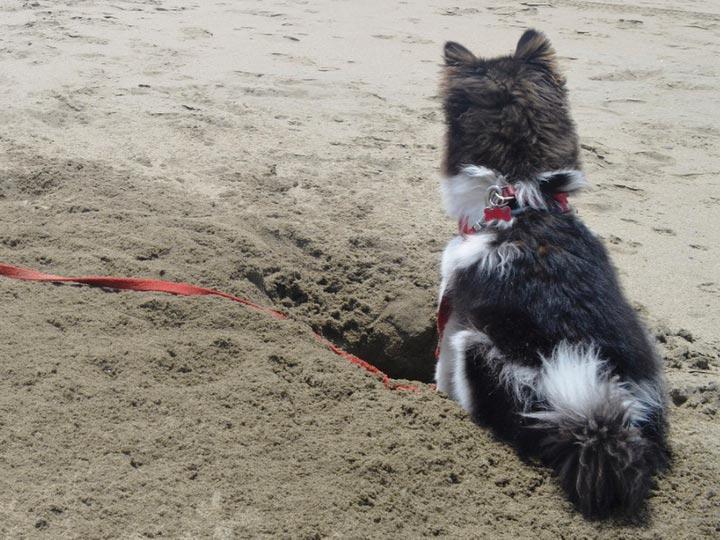 помски роет яму