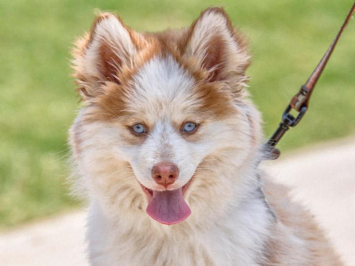 собака породы помски фото