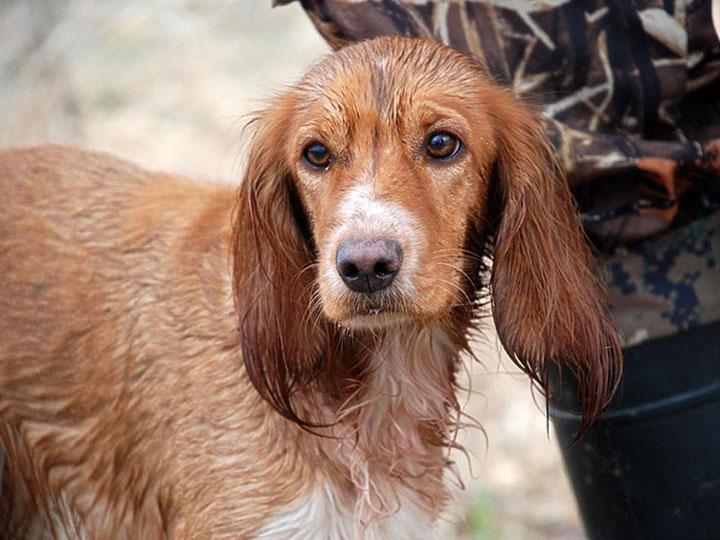 Русский охотничий спаниель собака