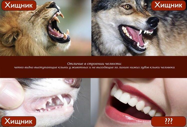 Отличие в строении челюсти хищника и человека