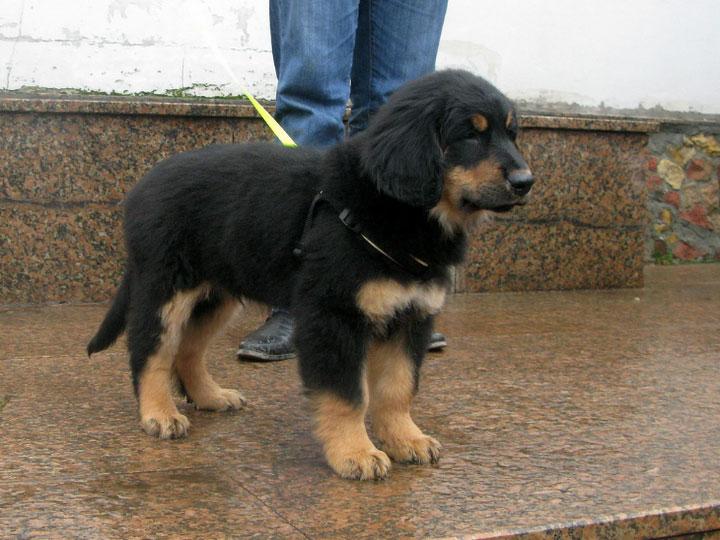 щенок Ховаварта