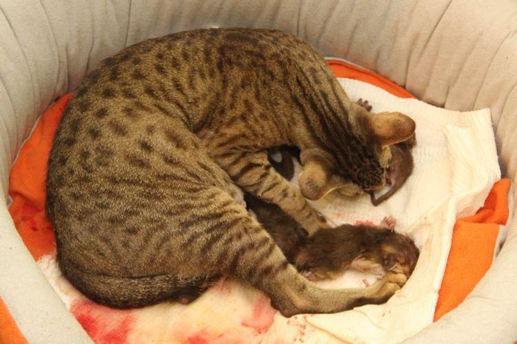 Кошка готовится к родам