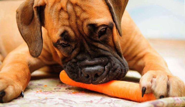 Боксер ест морковь